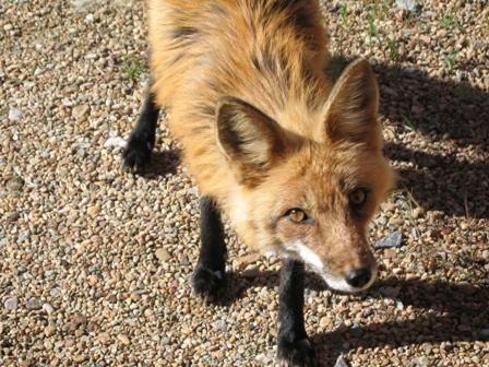 fox_close.jpg